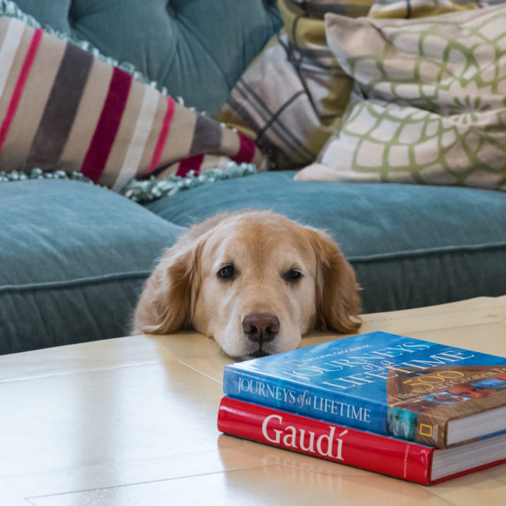 Golden Retriever on coffee table